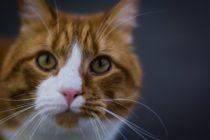Z jakiej przyczyny należy posiadać kota norweskiego?