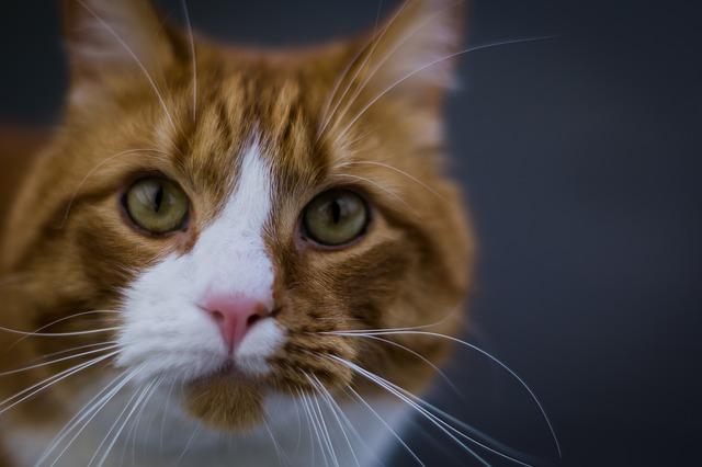 hodowla kotów norweskich