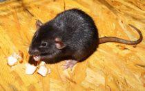 Czy szczury w restauracji odstraszą konsumentów?
